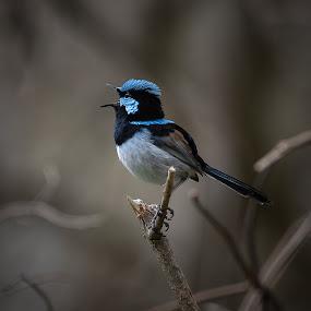 Blue Wren singing by Nicole Rix - Animals Birds ( outdoor, blue wren, singing, bird, animal, branch,  )