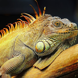 Cuban Iguana by Gérard CHATENET - Animals Reptiles