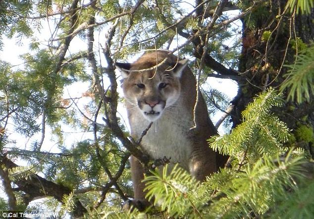 Danger: An 11-year-old girl was the latest Washington resident to kill a cougar like this one (this particular 125 pound male cougar was killed the week before by a state official)