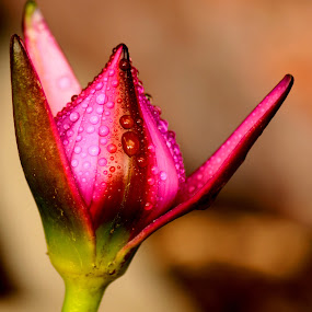 Bud of Lotus by Idda Purwaningtiyas - Nature Up Close Other plants (  )