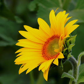 Sunflower by Karen Harris - Flowers Single Flower ( petals, sunflower, bloom, yellow, flower )