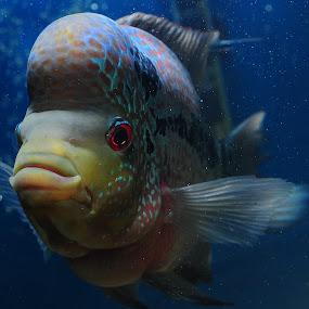 My Kamfa by Paolo Zalameda - Animals Fish ( paolo zalameda, kamfa, flowerhorn, fish,  )