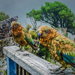 Criminals of Arthur's Pass by Jordan  Richardson - Animals Birds ( kea, travel, new zealand )