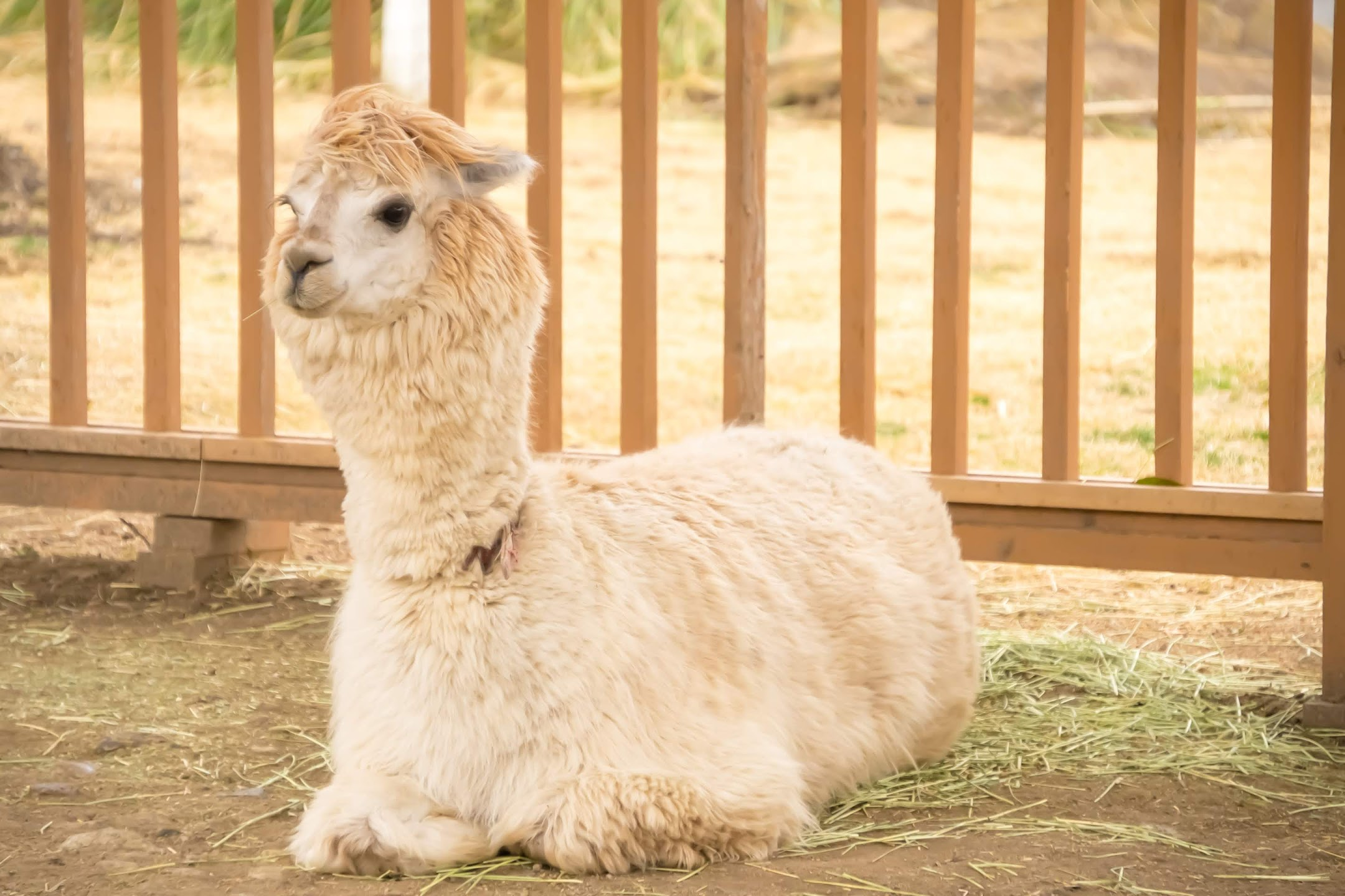 Kobe Animal Kingdom alpaca2