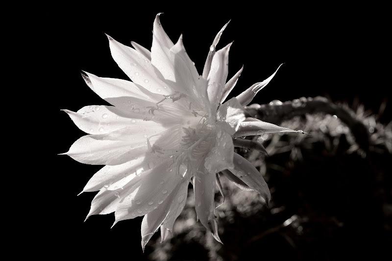 Echinopsis di Hesse