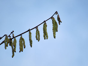 Photo: 17 Jan 14 Priorslee Lake The Hazel catkins are now in full 'bloom': need sun to get the 'golden rain' effect. (Ed Wilson)