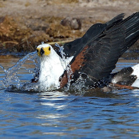 Bathing by Tobie Oosthuizen - Animals Birds ( chobe, april 2013 )