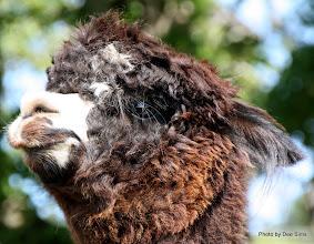 Photo: (Year 2) Day 334 - A Beautiful Alpaca #5