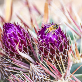 Crow's Claw or Devil's Tongue Barrel Cactus by Dawn Hoehn Hagler - Flowers Flower Gardens ( tucson, bee, arizona, barrel cactus, cactus, insect, purple, flower, desert musem )