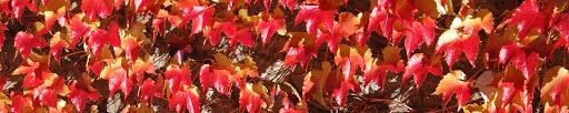 Violon des ruisseaux - automne