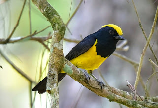 Photo: Sultan Tit (Melanochlora sultanea)