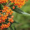 Butterfly Milkweed (Butterfly Weed)