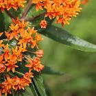 Butterfly Milkweed (Butterfly Weed)
