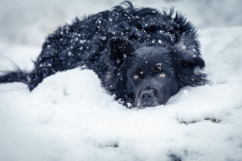 Snow dog di Alan_Gallo