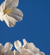 Photo: Blossoms and Blue The color version of the shot from yesterday.