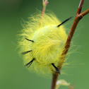 Cottonwood Dagger Moth