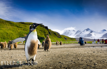 Photo: King penguin in Salisbury plain, South Georgia; one of my most favourite places in the world.   When some of the first explorers laid their eyes on king penguins, they thought their colonies were made up of two species, funny looking brown fluffballs, and sleek clean King penguins, however it turns out the fluffballs are merely king penguin chicks.  This shows a juvenile in transition, shedding his chick pelage, soon to be a waterprof adult, free to roam the great ice-capped playground that is South Georgia.  These penguin colonies are massive and can be quite pungent, but that's no reason not to get down in the penguin guano, lie down flat on your belly and shoot across at your subject. That way you can include the background to get more of an environmental portrait. Lying down also makes you more interesting and less threatening to the penguins, and since it is not permitted to approach closer than a few meters, this makes it more likely they will approach you.  I also don't hide the fact that I do these expeditions with other people, keeping people in the background reveals that this is a real place that's accessible to someone like you or I, travelling workshops are such a thrill!