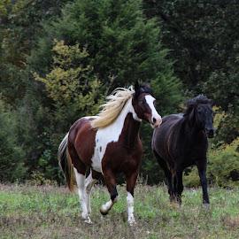 Running  by Amanda Burton - Animals Horses ( nature, animals, horses )