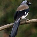 Grey (Himalayan) Treepie