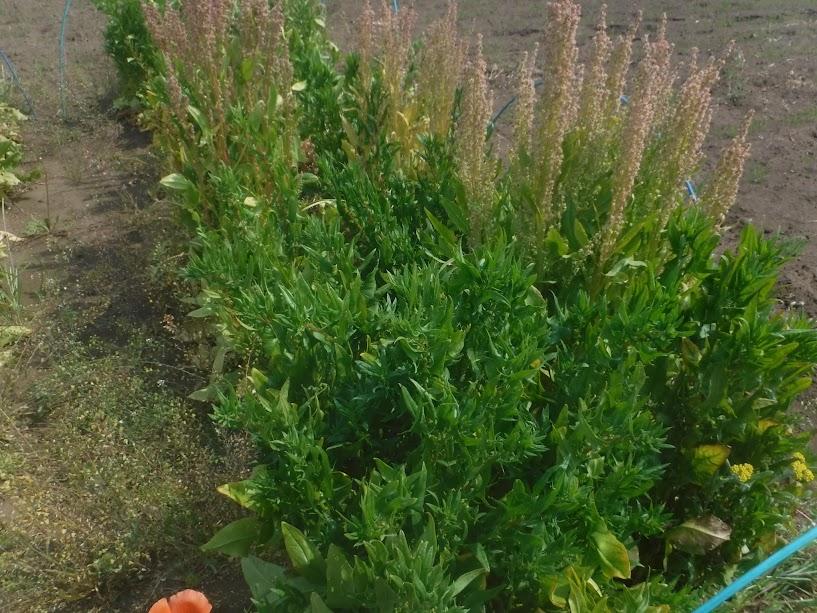 ほうれん草、雄株が赤っぽい背の高い花をつけ、雌株は手前の青々しているもの。