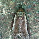 Euteliid Moth
