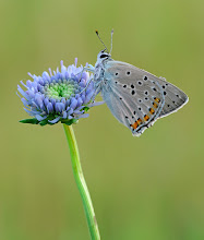 Photo: Lycaena tityrus, Cuivré fuligineux, Sooty Copper  http://lepidoptera-butterflies.blogspot.com/