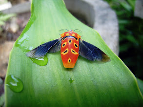 """Photo: Pentatomidae Cantao Ocellatus +ColorsOnFriday #colorsonfriday Curated by +Karsten Meyer+Gailen Mapes& +FeelGoodFriday #feelgoodfriday Curated by +Rebecca Borgand +Buggy Friday #buggyfriday  Curated by +Ray Bilcliff+Margaret Tompkins :- Thanks to +Kim SinclairI now know that this bug is part of the Pentatomidae family and it's Latin name is """"Cantao Ocellatus"""" . The joy of having a house up in the mountains of Thailand is that I don't really have to go looking for things to photograph as a lot of the time they come to he house and find me! This exquisite bug was sunning itself on a leaf in our front yard so I grabbed he camera, stuck it on macro mode and grabbed the shot before I missed the chance. It was only approximately 20 millimeters (2 centimeters) in length and I was fascinated by its markings and bright colors.  Photography by Justin Hill ©"""