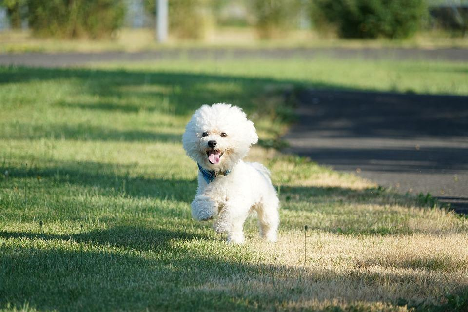 Dog, Sweet, Animals, Pets, Bichon, Bichon Frise, Race