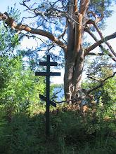 Photo: Крест и диковинная сосна