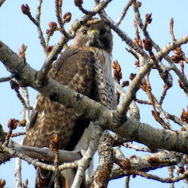 HAWK EYE by Cynthia Dodd - Novices Only Wildlife ( bird, animals, bird of prey, nature, wildlife, tree tops, birds, hawk )