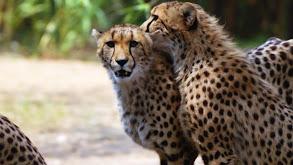 Once a Cheetah, Always a Cheetah thumbnail