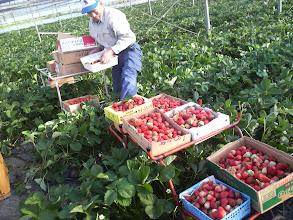 """Photo: イチゴ農園の""""アラキさん""""ありがとうございました! 貴重な体験ができました! 来年もよかったら・・・。お願いします!"""