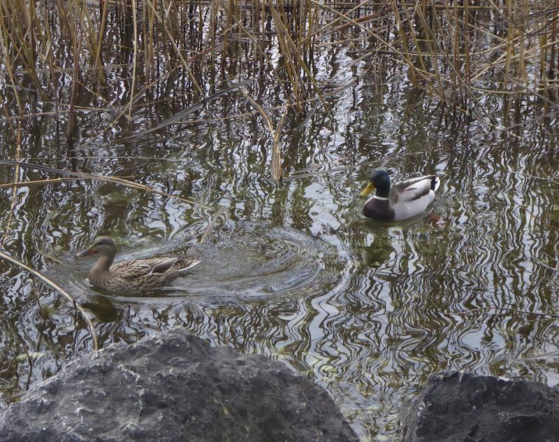 'Ducks in love' di luiker