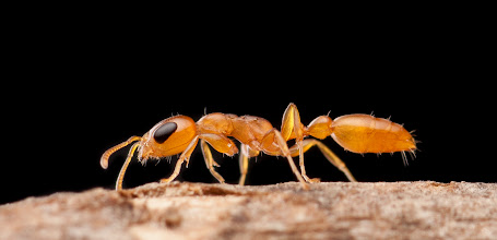 """Photo: Pseudomyrmex pallidus. ant on twig (species id thanks to +Alex Wild)  Backlit, with a nice strong tent lighting as well; this gives a nice rim light to defined the ant even better against the black, and highlights the few hairs this species of ant has, in addition to providing a nice overhead """"strip box"""" look.  Please do go zoomy here - the massive compound eye (given the body size) is particularly neat when viewed close.  She does make good use of that eye - which makes getting a decent shot more problematic. She'll move around the branch as soon as your camera moves at all. I placed her on a suspended twig, so really she had nowhere to go, but she could still easily frustrate a photographer! In the future I need to setup for pictures on an end of the twig rather than the middle, since that's where she spent most of her time.  I found this gal right outside my front door in our landscaping; returned to the bush after I was done with her."""
