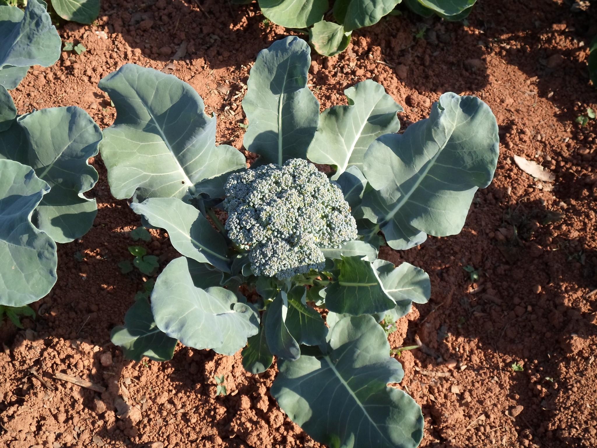 Photo: More broccoli
