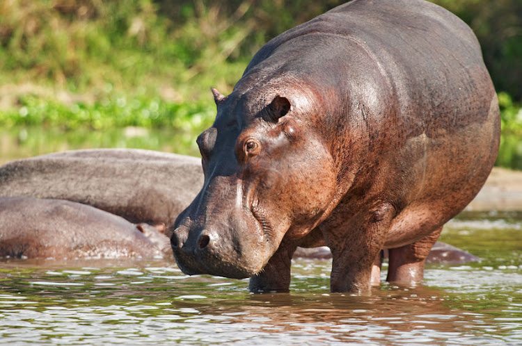 A hippo was spotted in the Chartwell area, near Fourways in Joburg, on December 29. File image.