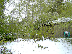 Photo: Broken branch due to heavy snow on hägg-flowers