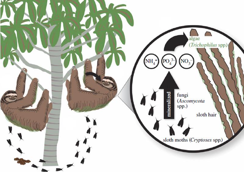 The sloth-moth cycle. Credit: Pauli et al, 2013. Royal Society.