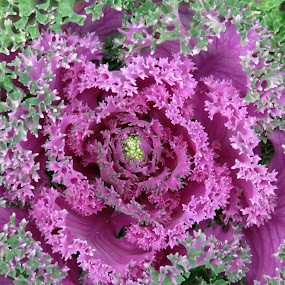 Layers of Magenta by Susan Englert - Flowers Single Flower ( plant, petals, cabbage, green, layers, seeds, bloom, pink, buds, flower )