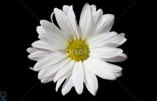 Black white yellow by laura metzger flowers single flower film white