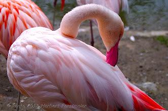 Photo: AUGENblicke:  Rosaflamingo  Der Rosaflamingo ist eine Art aus der Familie der Flamingos.  Er kommt in Teilen von Afrika, Asien und Süd-Europa vor.