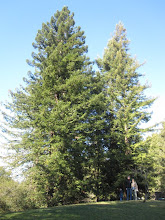 Photo: My pals Russ & Betsy at the Apollo Moon tree (one on the right)  in Tilden Nature Area, Berkeley, California