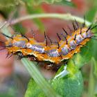 Passion caterpillar/gulf fritillary caterpillar