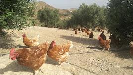 Gallinas ecológicas de la granja de Los Baltasares de Albox corriendo al aire libre.