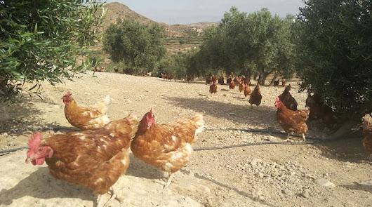 Albox se convierte en uno de los mayores centros de gallinas de huevo ecológico