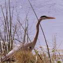 Gerat Blue Heron