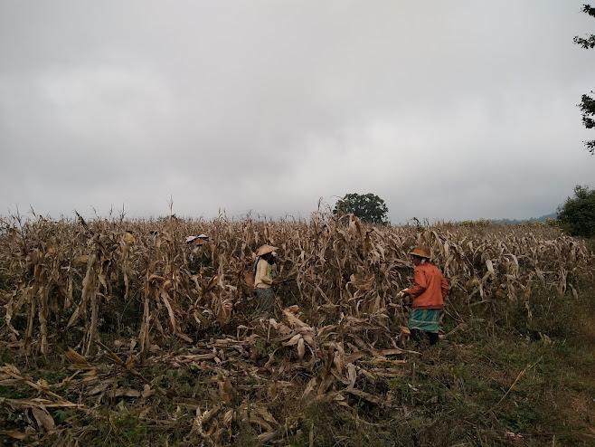 トウモロコシの収穫風景
