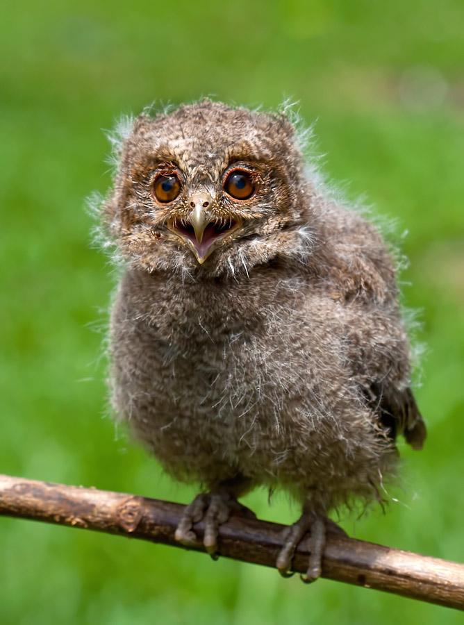 young owl by Ruzy Kosasih - Animals Birds