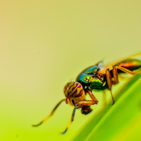 Green Bottle Fly by Suman Basak - Animals Insects & Spiders