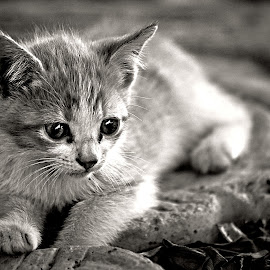 Kitten by Pieter J de Villiers - Black & White Animals
